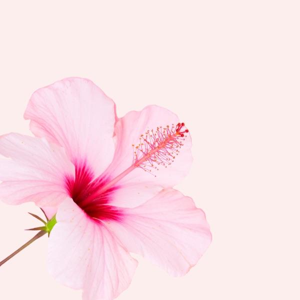 hibiscus-antilles-entrepreneuriat-au-feminin